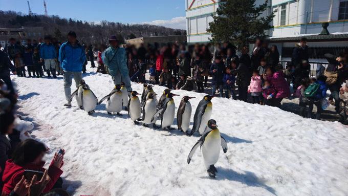 旭山動物園の風物詩と言えるペンギンの雪中散歩