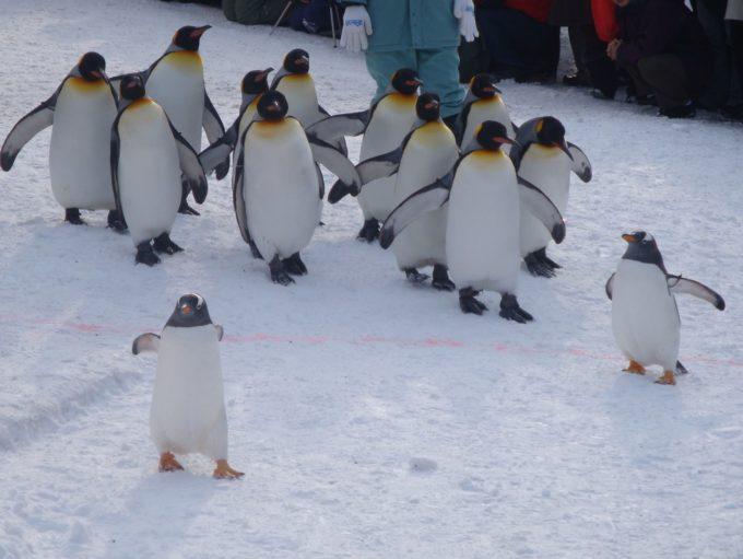 我先にと行進するペンギンたち