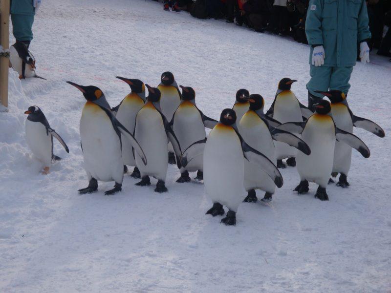 トコトコと進む愛くるしさいっぱいのペンギン