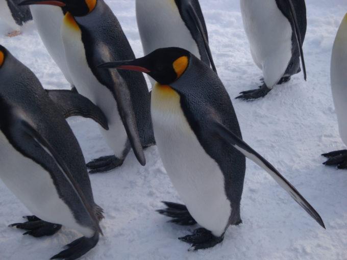 ペンギンをこんなに間近に見れるのが雪中散歩の魅力
