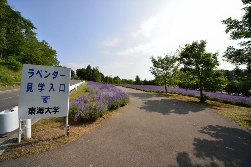 東海大学札幌キャンパスラベンダー
