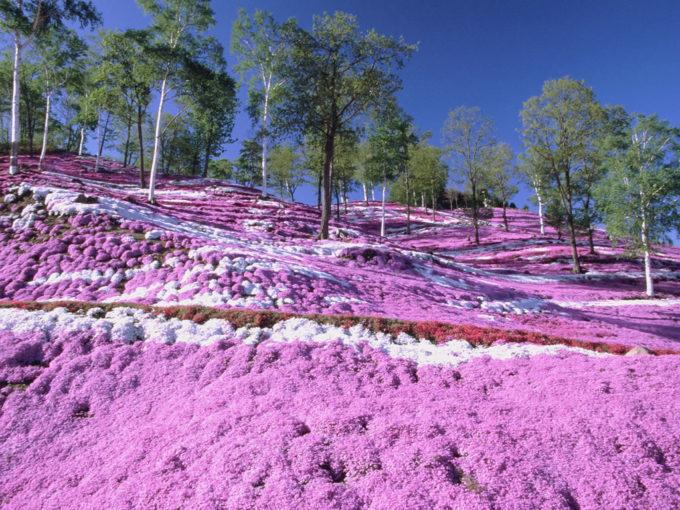 北海道内にある芝桜の名所と開花予想・見頃