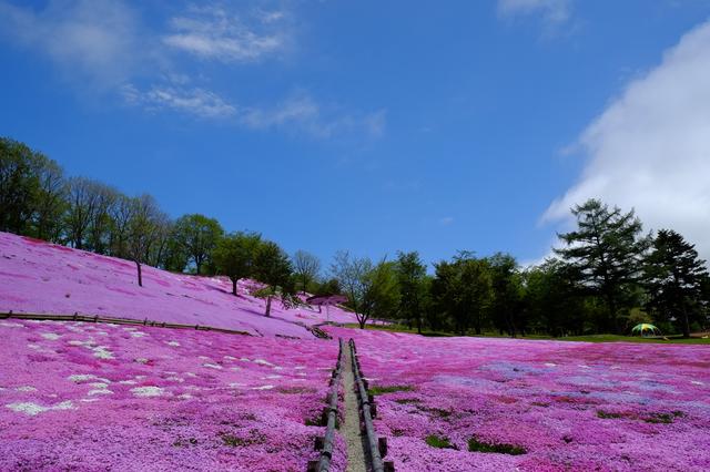 太陽の丘えんがる公園の芝桜