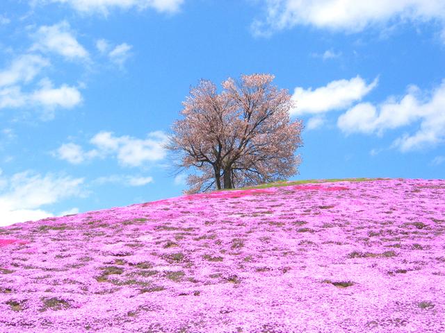 津別21世紀の森芝桜