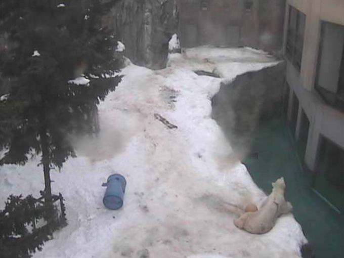旭山動物園ほっきょくぐま館ライブカメラ