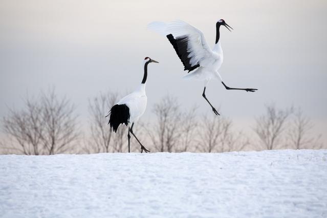 北海道の冬のタンチョウ観察スポット