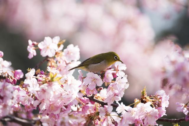 北海道にある桜の名所と開花予想日・満開見頃