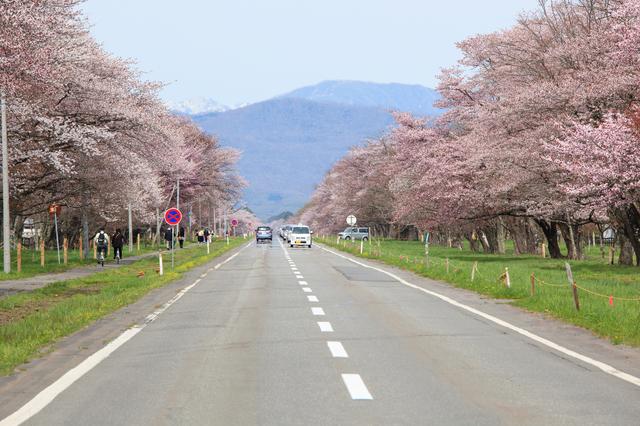 【新ひだか町】二十間道路桜並木