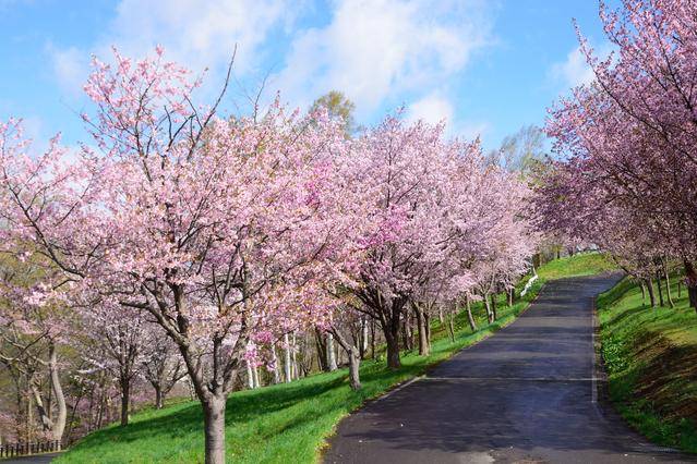 旭ケ丘公園の桜