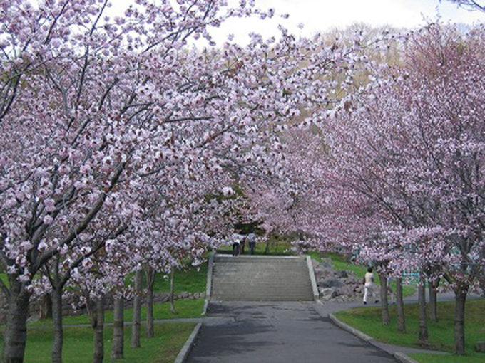 栗山公園の桜