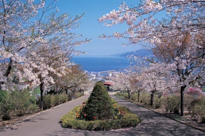 手宮公園の桜