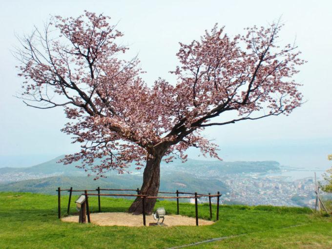 天狗山の桜