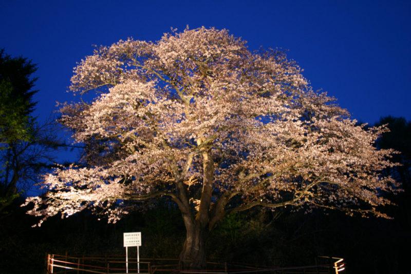 幌萌町の大桜