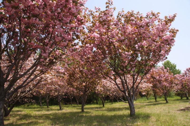 祝津臨海公園の桜