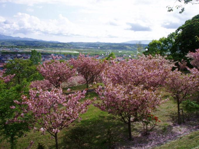 今金町総合公園の桜