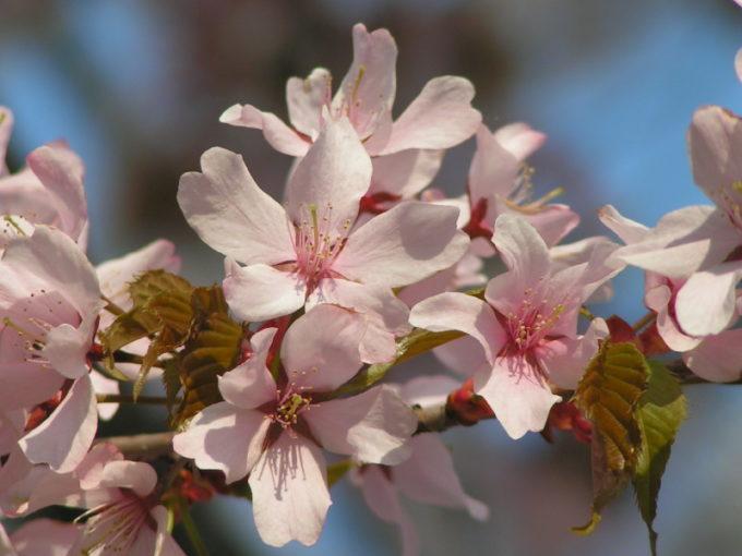 オオヤマザクラ(大山桜)