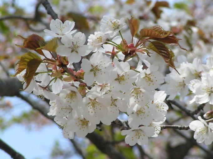 カスミザクラ(霞桜)