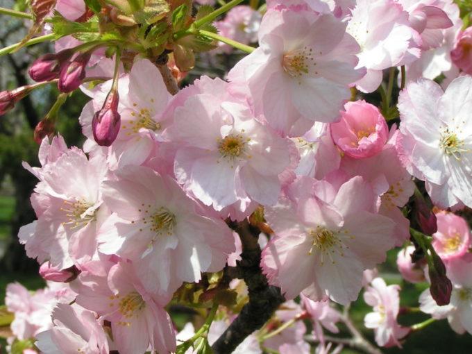 コマミザクラ(駒見桜)