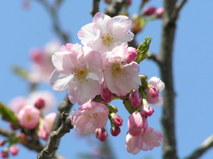 ベニコマザクラ(紅駒桜)