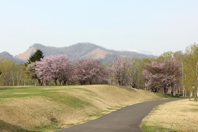 北海道立真駒内公園の桜