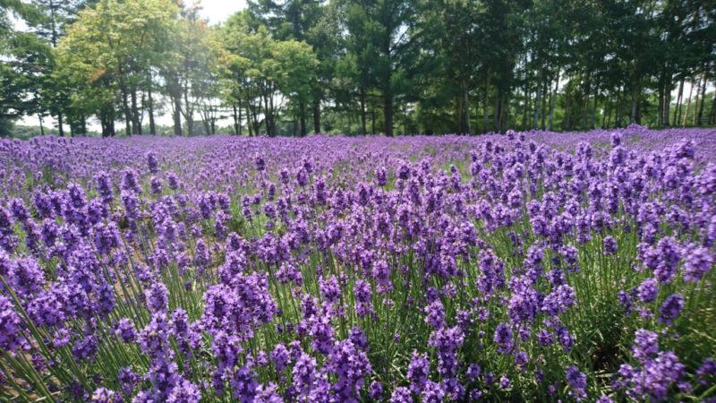 濃紫色が特徴のラベンダー
