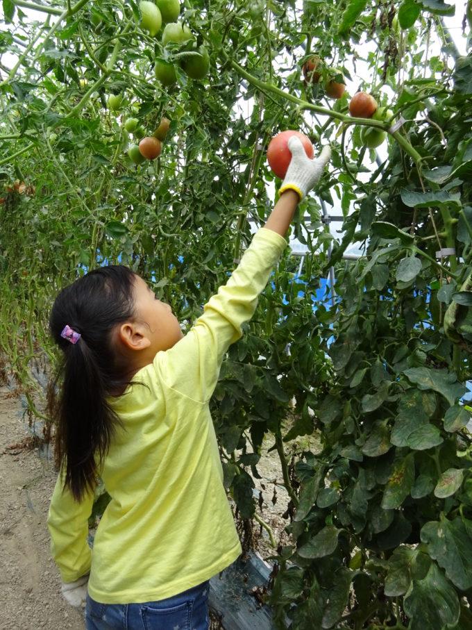 トマトを丁寧に収穫します
