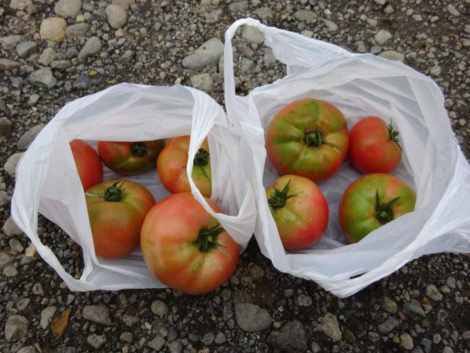 収穫したトマト