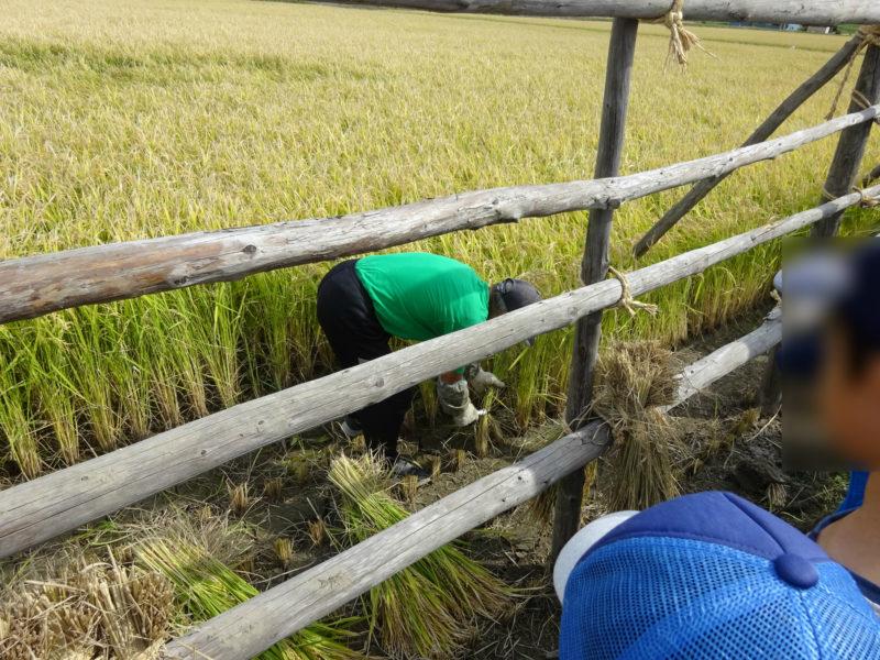 白石さんから鎌による稲刈りの方法の説明