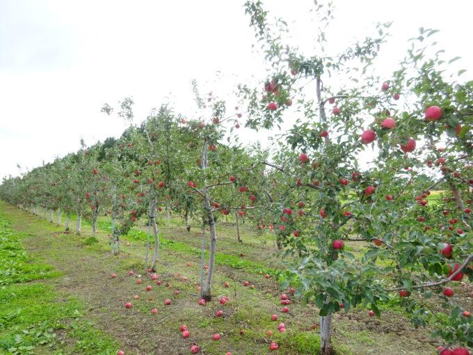 滝川市の伊藤果樹園さんにて「リンゴ収穫体験と食べ比べ」