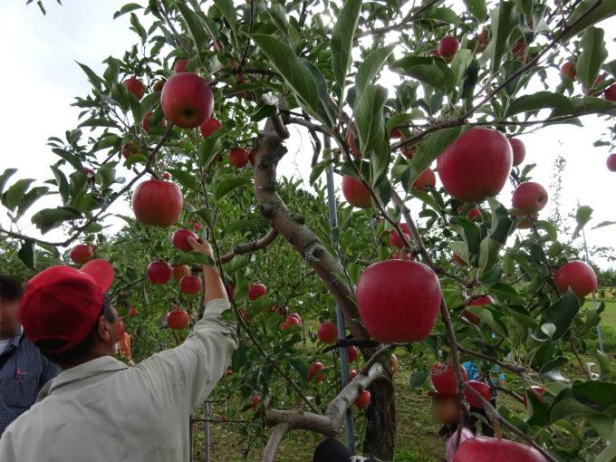 美味しいリンゴの見分け方や収穫方法