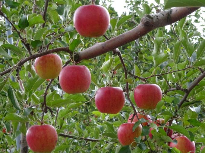 リンゴが真っ赤