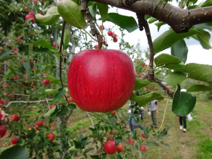 リンゴが真っ赤に実っています。