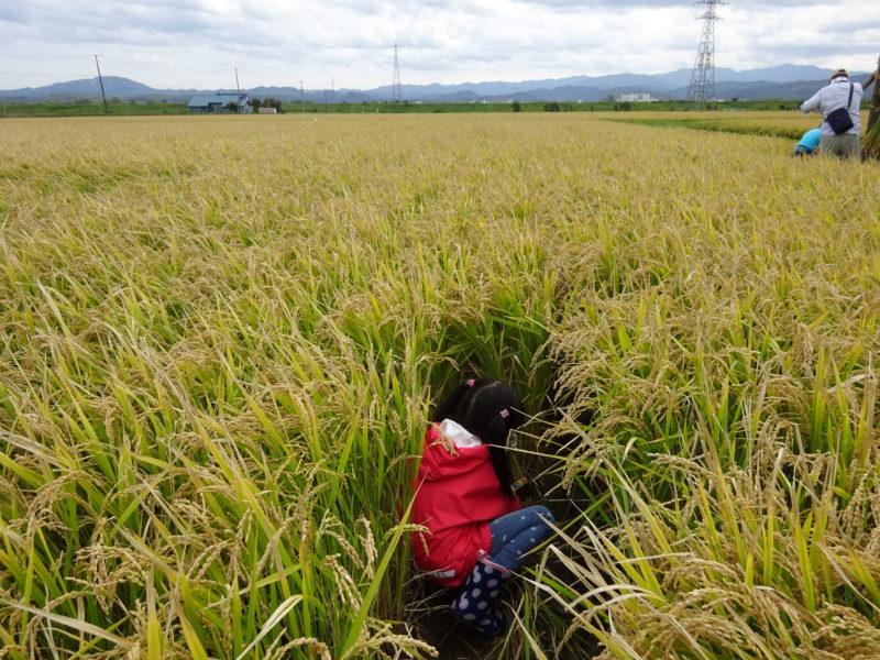 どんどん稲を刈り取っていきます。