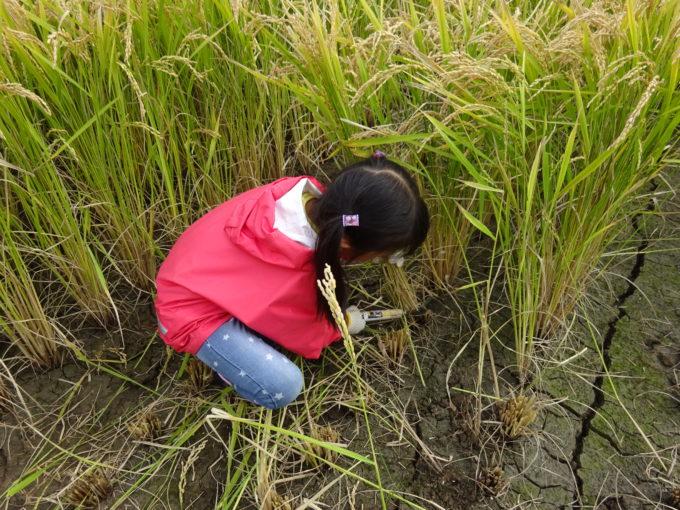 稲を鎌で手刈り