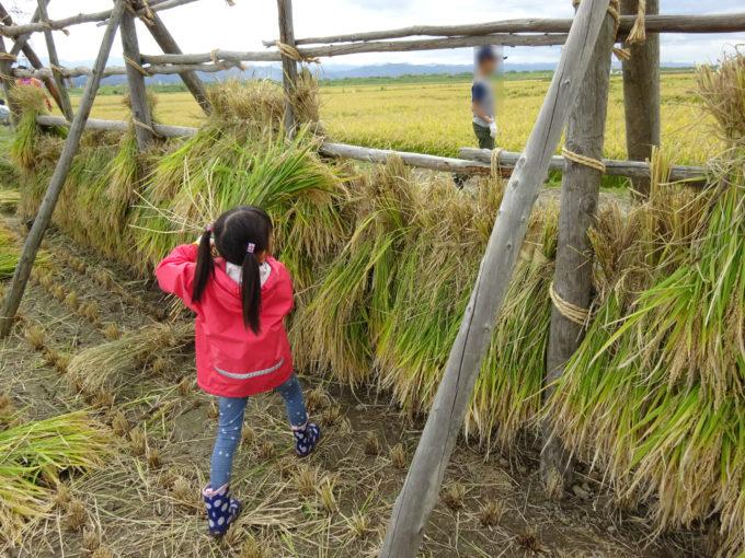 束ねた稲はさ掛けします。