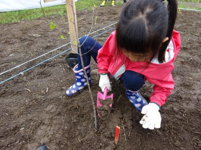 苗木に土をかぶせます