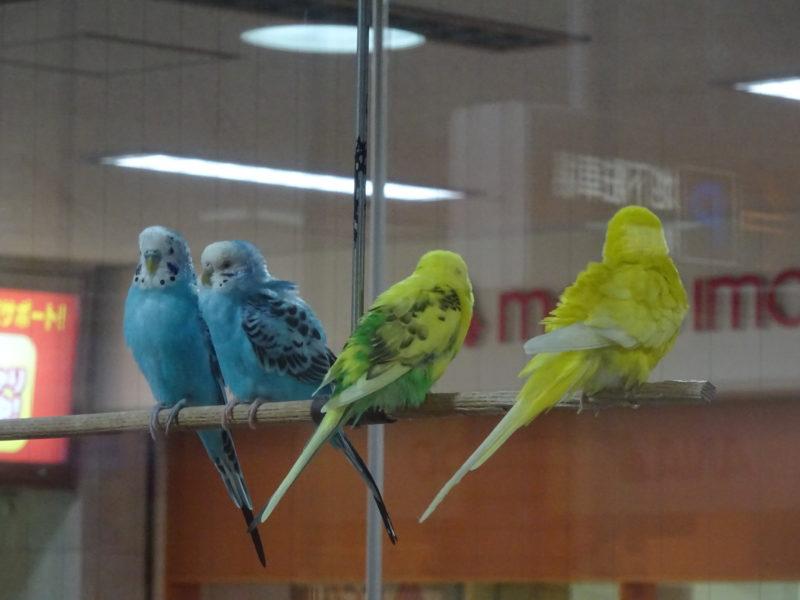 小鳥の広場セキセイインコ