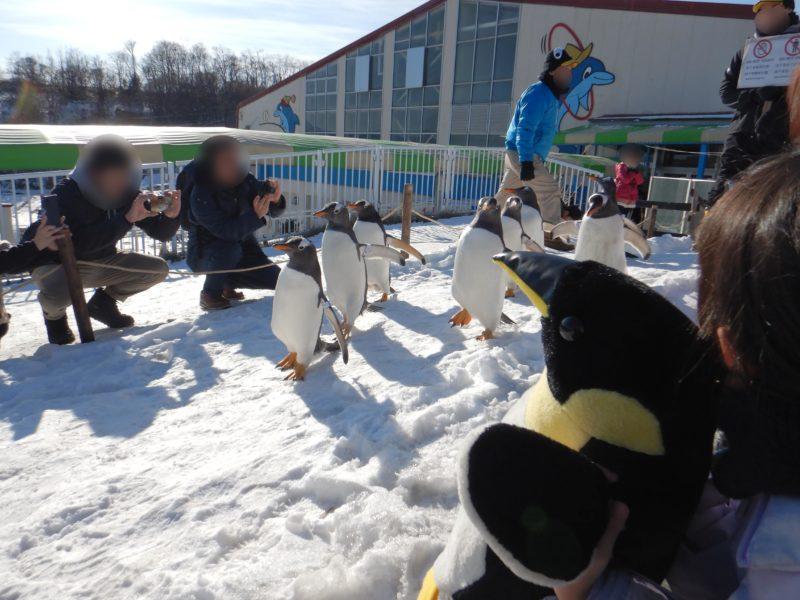 おたる水族館ペンギン雪中さんぽ