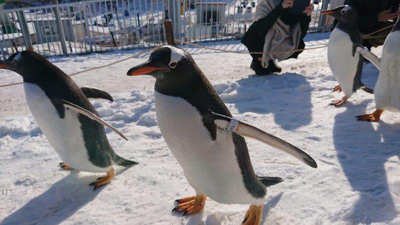 ヨチヨチと歩くペンギンたち