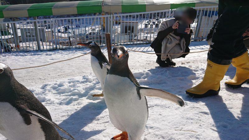 好奇心旺盛なジェンツーペンギン