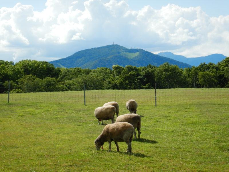 羊が沢山の羊ヶ丘展望台