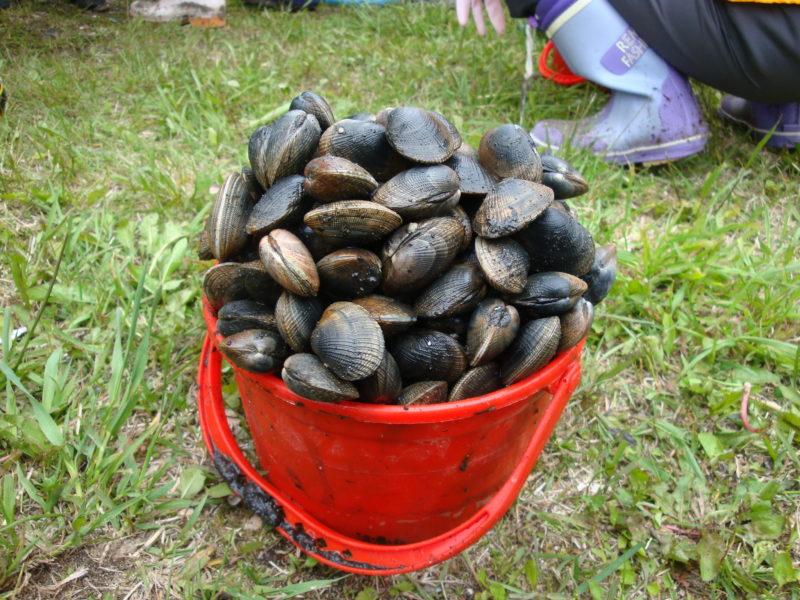 掘れる大粒のアサリは専用バケツ1杯で約3キロ