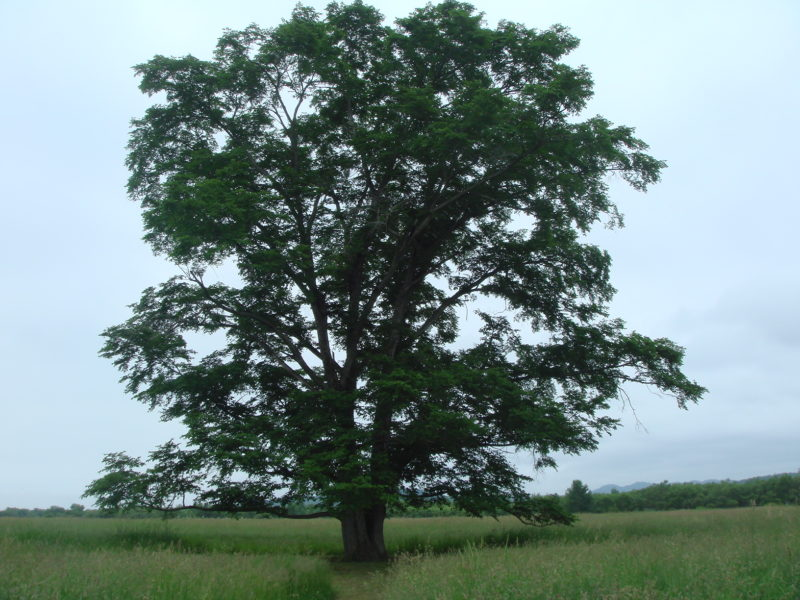 はるにれの木(北海道豊頃町幌岡)
