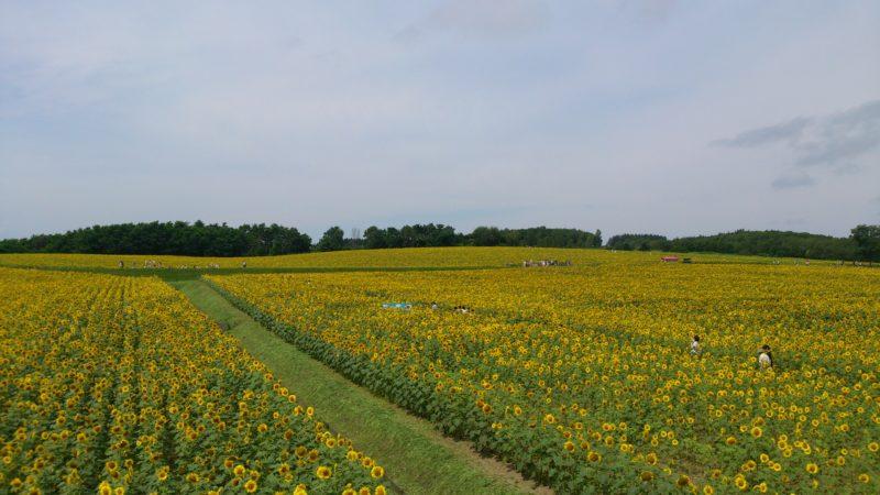 展望台からのひまわり畑