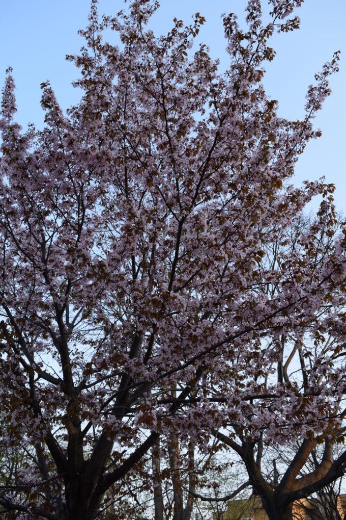 北39条アカシヤ公園の桜
