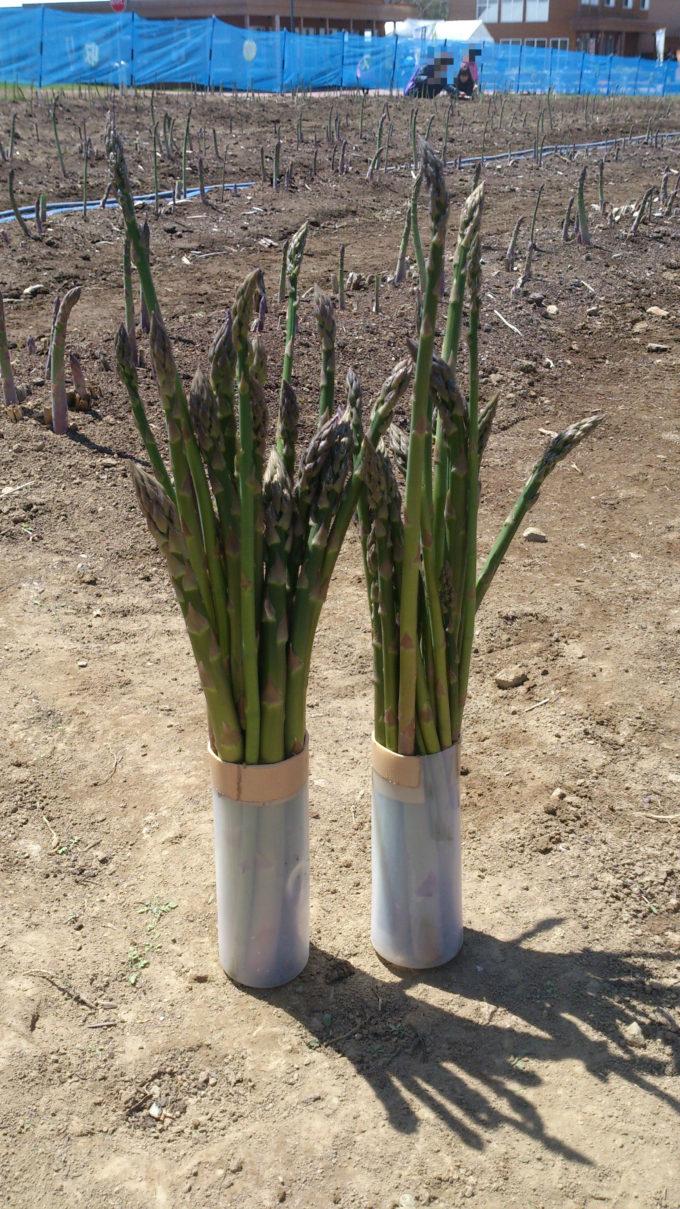 アスパラガス収穫体験