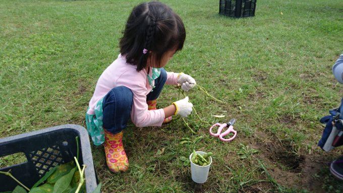 収穫した枝豆はハサミで切り分けます