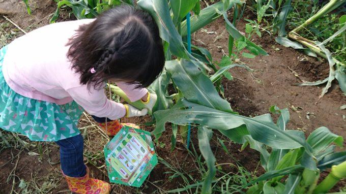 とうきび(ゴールドラッシュ)の収穫