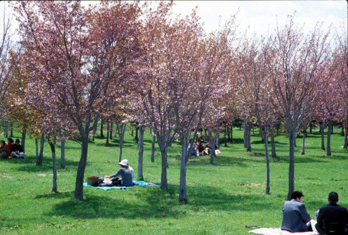 エゾヤマザクラを中心に約2,600本のサクラが咲く花見のスポット