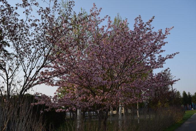 丘珠公園の桜